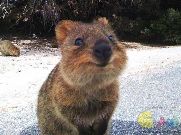 可爱quokka短尾矮袋鼠 微笑天使! - 可爱动物 - 贴图