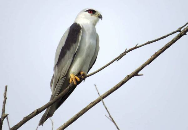 Black-shouldered Kite 黑肩鳶