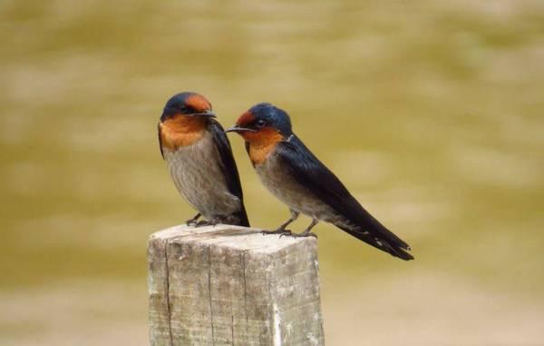 Pacific Swallow 洋燕.jpg