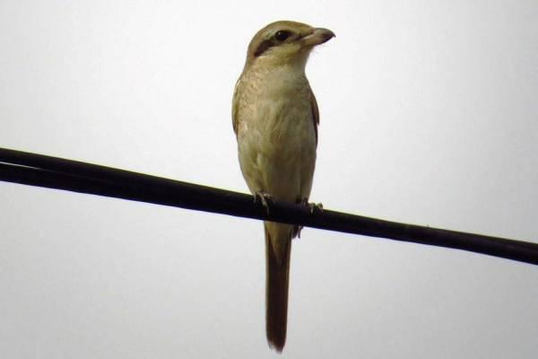 Brown Shrike 红尾伯劳.jpg