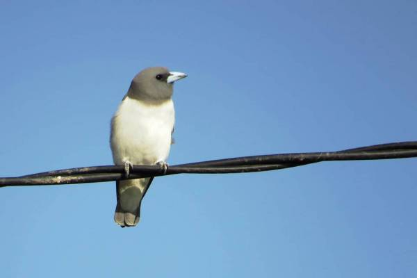 White-breasted Woodswallow 白胸燕鵙