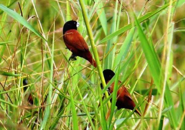 Black-headed Munia 黑頭文鳥