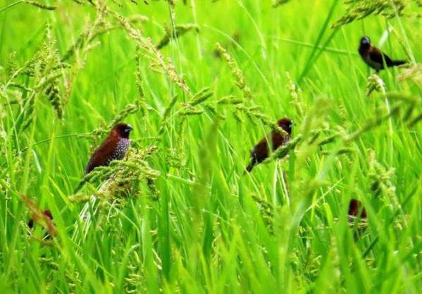 Scaly-breasted Munia (M) 斑文鳥