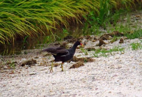 Common Moorhen 黑水鸡