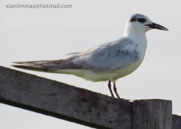 Whiskered Tern 须浮鸥