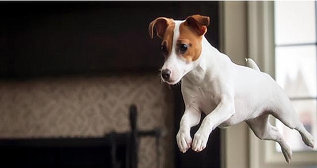 英式博美犬图片_四脚冲天炮 Jack Russel - 宠物天地 - 兴趣爱好 - 论坛 - 佳礼资讯网