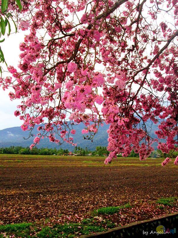 bunga sakura malaysia