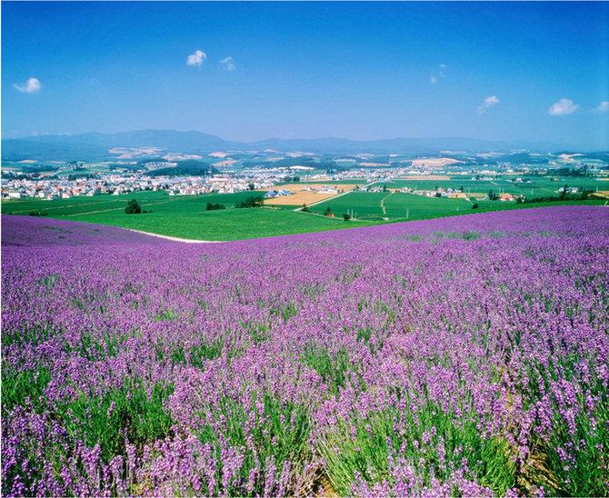 Jatuh Cinta Dengan Ladang Lavender di Furano, Jepun