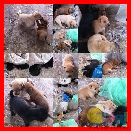 8 PUPS IN A FACTORY AREA,NEED HOME URGENTLY.PUPS ARE TAKEN CARE BY THE NEPALESE WORKERS.PUPS NOT SAV ...