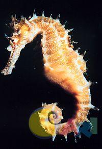 200px-Hippocampus.jpg