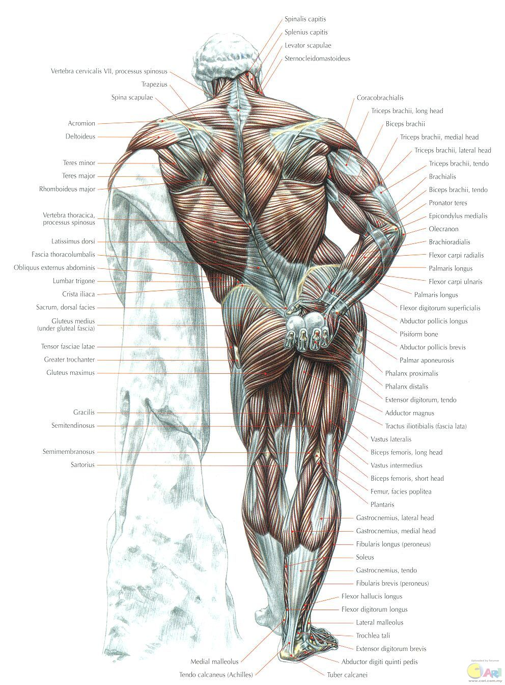 muscles - posterior view.jpg