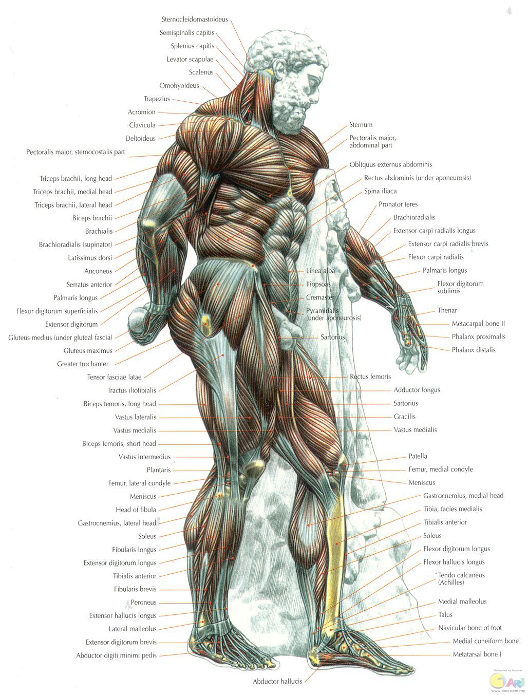 muscles - side view.jpg