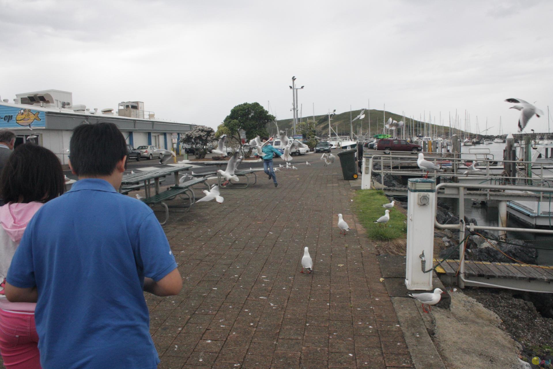 海鸥在Coffs Harbour Fishermans Co-op