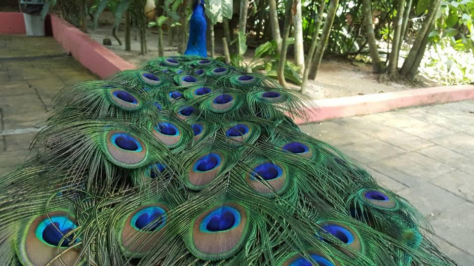 孔雀的羽毛~