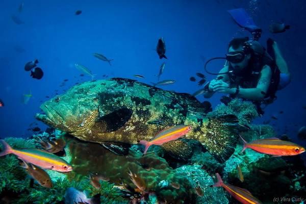 Grouper 石斑鱼