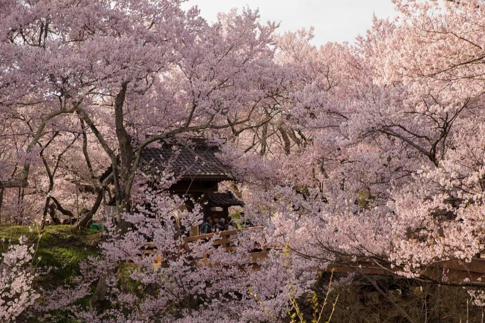 日本高遠城址公園的樱花场景1