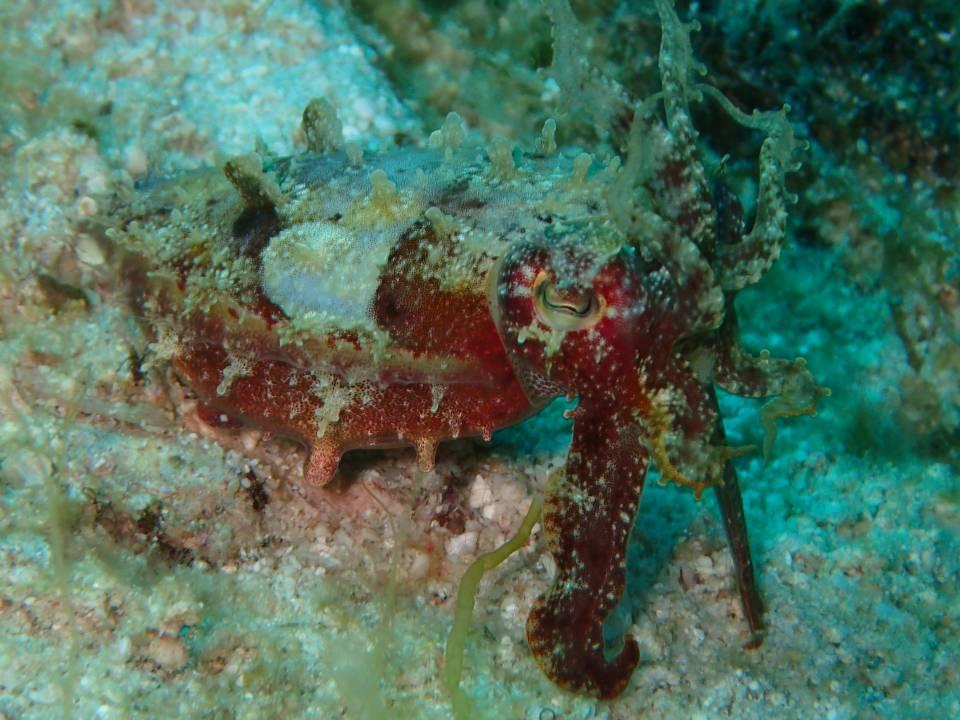 原本红色的 Cuttlefish...