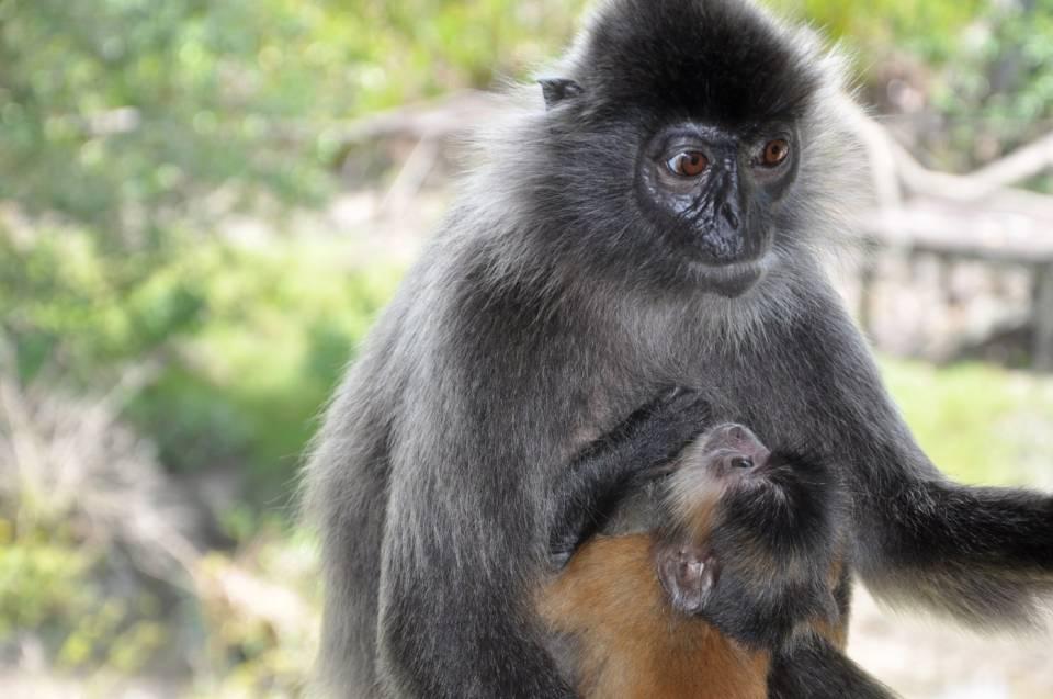 7-1 馬來西亞銀葉猴。(圖/攝影者:shankar s., Flickr CC License).jpg