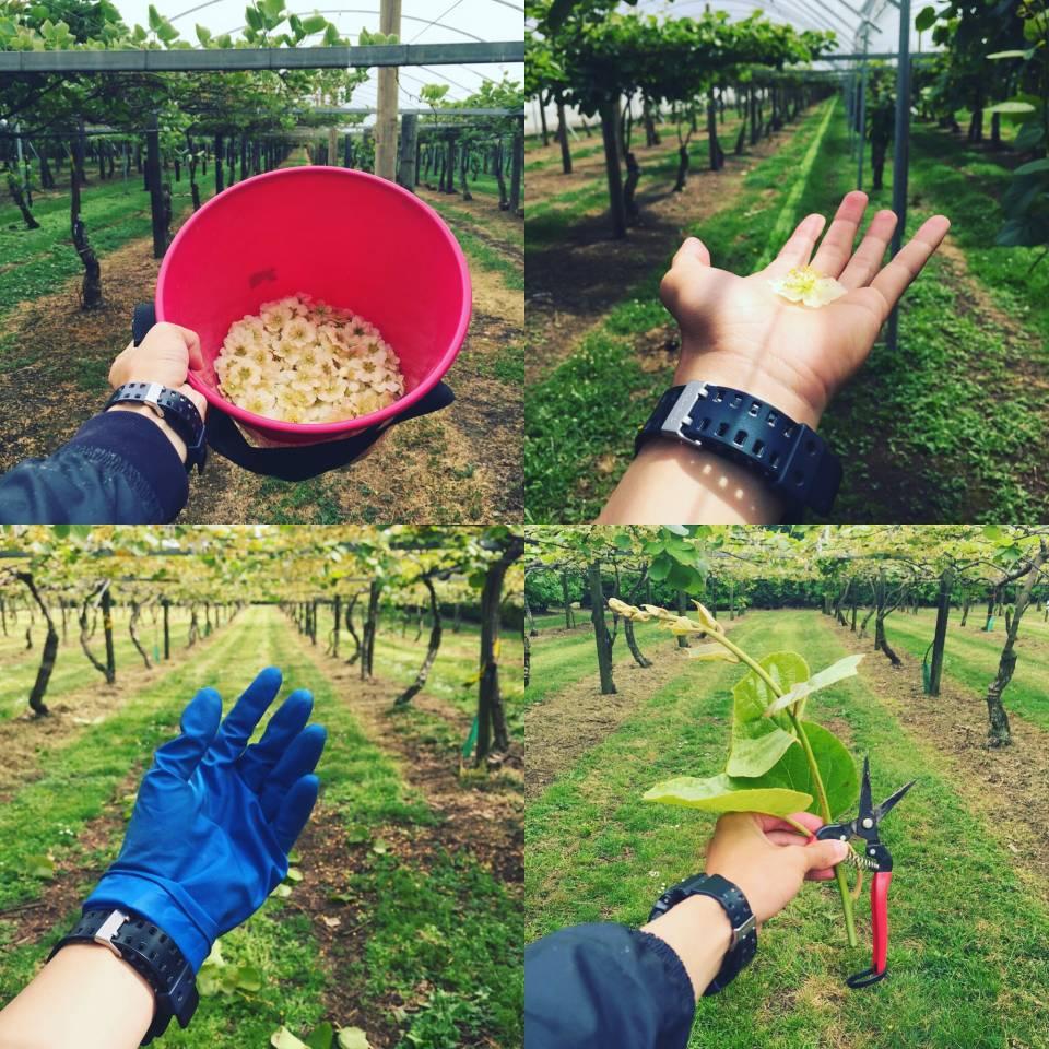 奇异果的剪枝和采花1.0