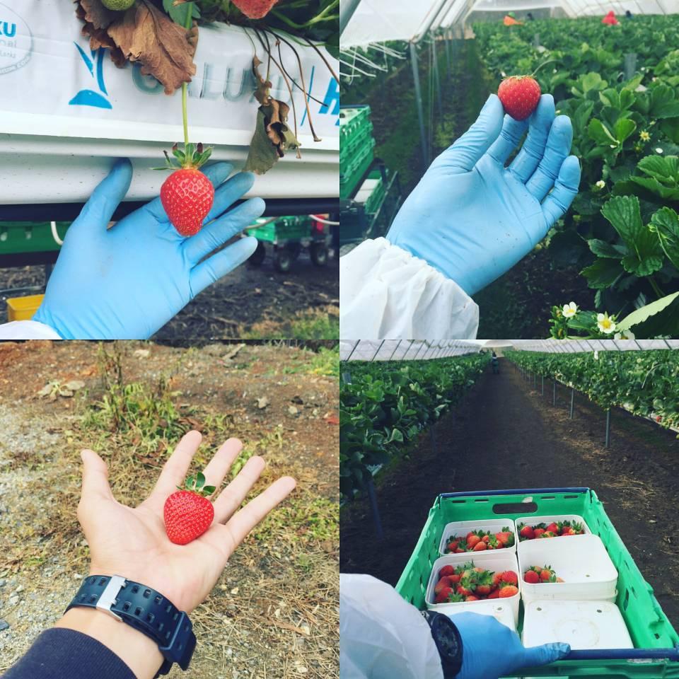 草莓园的工作