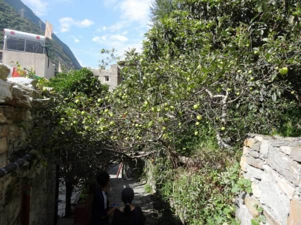 居民屋后的苹果树.JPG