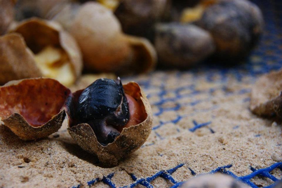 胎死蛋中的小海龟
