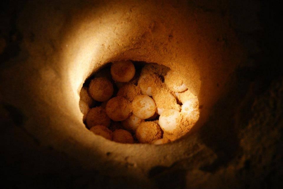 洞内的海龟蛋