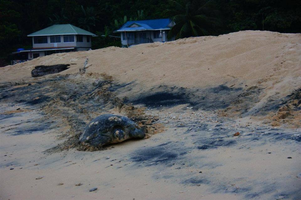 最后的一只海龟退回海洋中