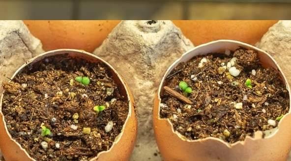 eggshell-planters-germinated.jpg