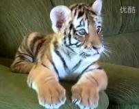 可爱的老虎