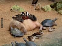 """35张证明""""水豚就是动物界的万人迷""""照片"""