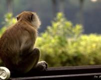忧郁的老猴子