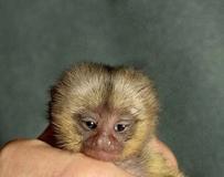 快绝种了的 口袋猴儿 (pocket monkey)