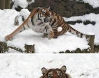 老虎打雪仗