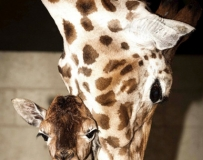 母子情! 長頸鹿媽媽用鼻子輕輕扶小鹿學步