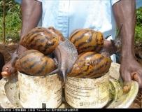 超大的非洲蝸牛,你敢吃吗?