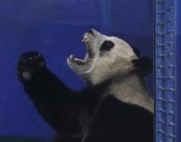 """大陸贈臺熊貓""""團團""""""""圓圓""""今年有望生子。。。"""