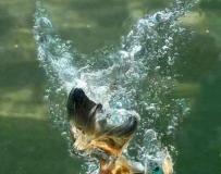 愛爾蘭攝影愛好者耗時一年拍翠鳥入水捕魚瞬間。。。