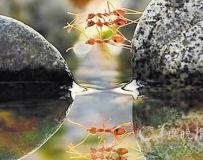 螞蟻過河 用同伴身體搭橋畫面曝光!