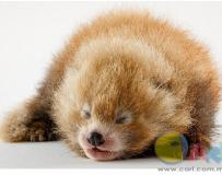 英国动物园网晒红熊猫宝宝萌照