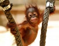 人猿幼崽說聲Hi。。。
