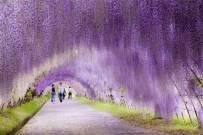 日本河内藤园