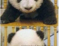 如果大熊猫没有了黑眼圈。。。