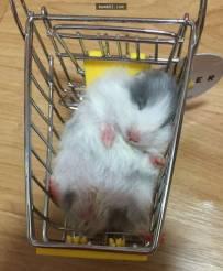 主人把小仓鼠放进新买的迷你手推车后,萌上加萌的画面.