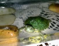 可爱小乌龟(加照了。。。)