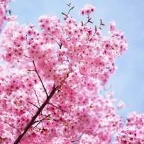 粉粉的樱花