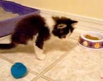 他天生只有两只脚,却是世上最可爱的猫