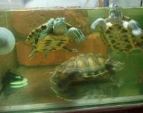 我的生活伙伴巴西龟哦!