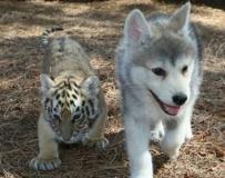有爱的狗狗和老虎