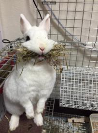小白兔怕主人抢走粮食,傻萌地拼命咬住粮草!
